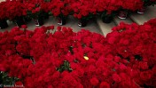 One Rose For MJJ Tribute
